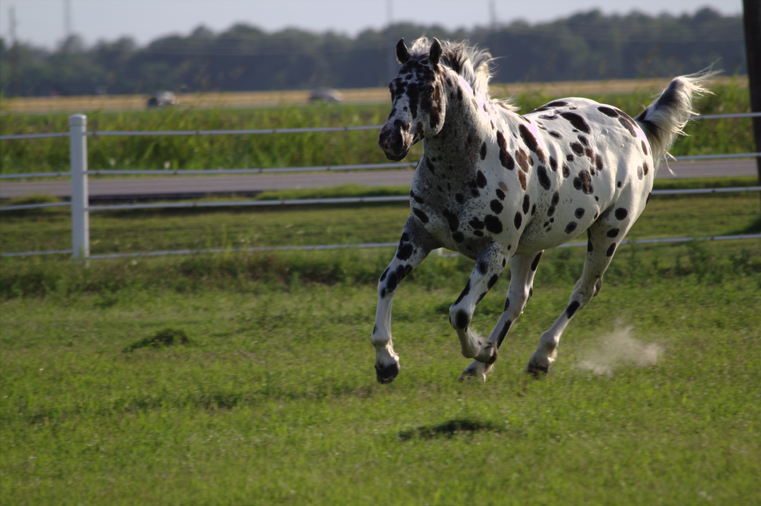 Black and White Near Leopard Appaloosa - Stock by ahsaleh on