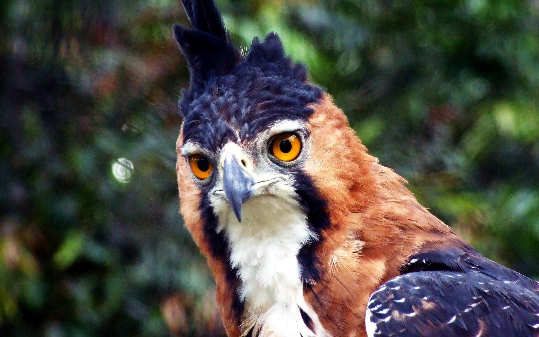 Falconiformes. Família  Acciptridae - Subfamília Buteonidade- Gaviões de penacho. genêro SPIZAETUS Ornate_Hawk_Eagle_wallpaper_by_hmdll