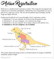 Science Fact Friday: Bird Respiration by Alithographica