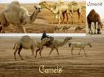 Camels pack