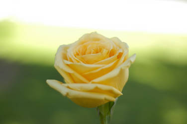 A Rose for my Brother