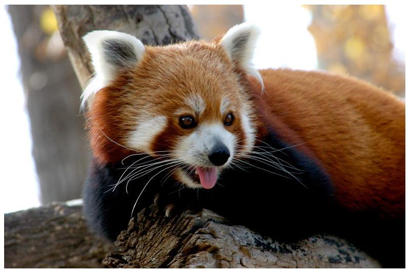 panda by Pandyp