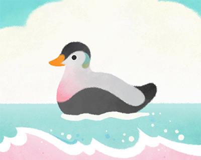 Eider duck (live)