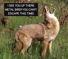 Angry Coyote