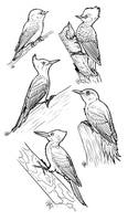 Woodpecker Coloring Sheets