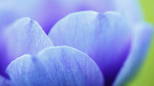 Nawak Blue Petals Wallpaper by Pierre-Lagarde
