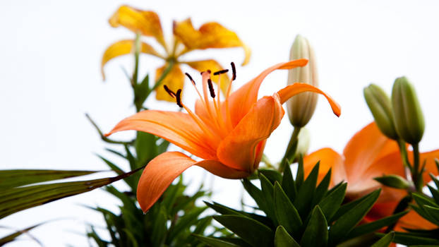 Orange Hybrid Lily on a Dreary Day WP
