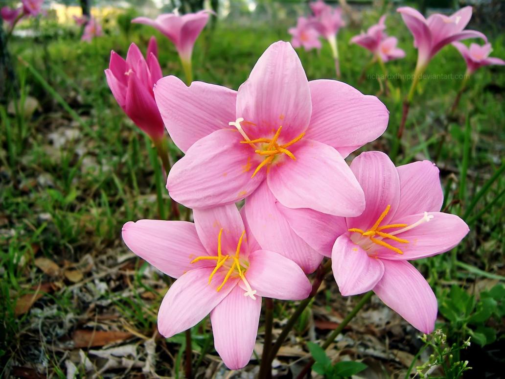 Field Of Pink Flowers Wp By Richardxthripp On Deviantart