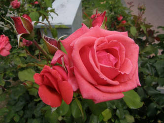 ExclStock 1 pink rose for You by Gwathiell