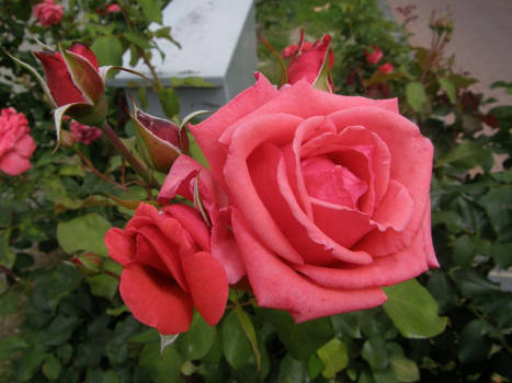 ExclStock 1 pink rose for You