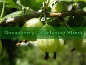 ExclStock Gooseberry