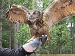 European Eagle Owl Stock GIF