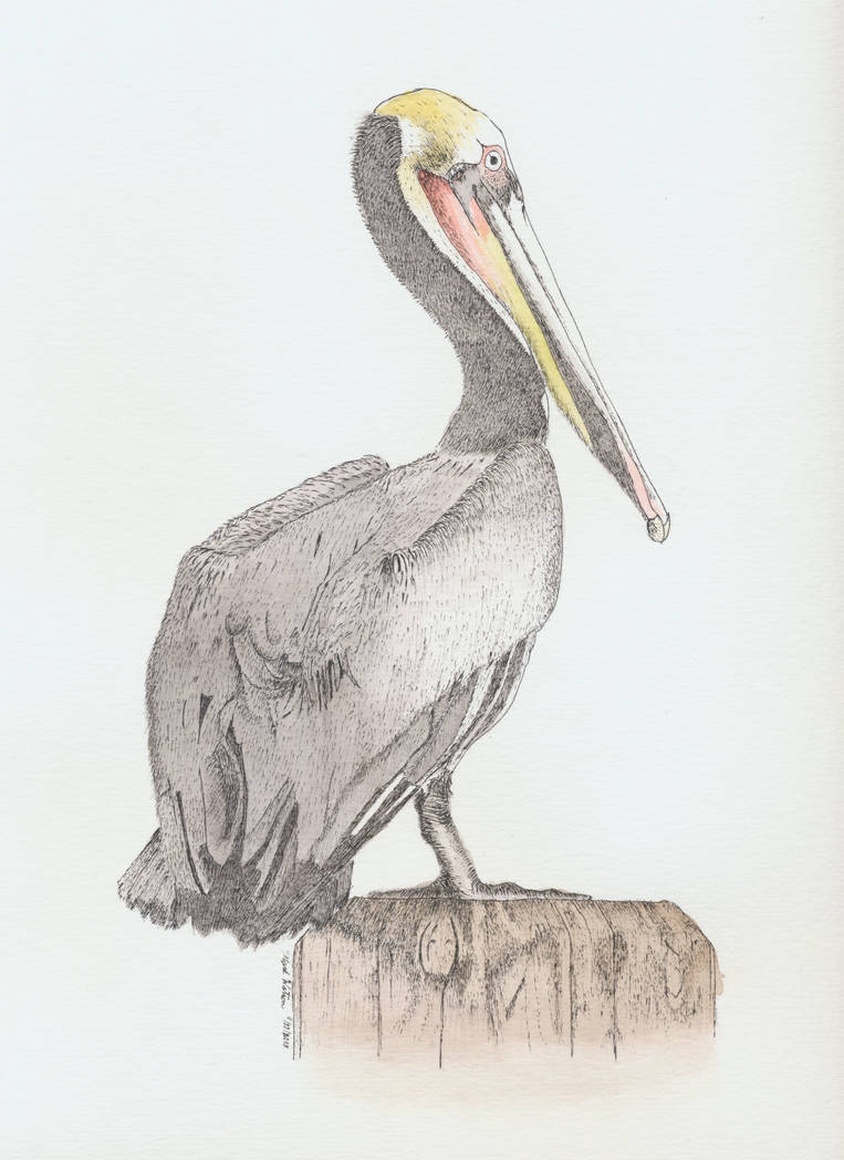 Pelican (painted version) by mrwatson
