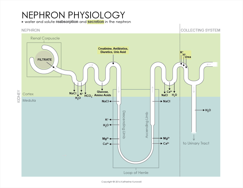Nephron Physiology by creativsis