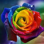 Rainbow Rose Avatar by Lilyas