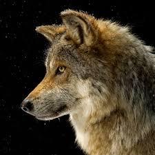 Werecember And Canis Lupus January ( read descrip) by Hanshowlett24