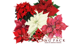 Poinsettia PNG Christmas Pack