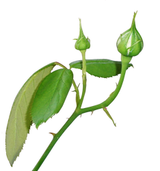 Rose Bud - cut out psd-file by Sarasai