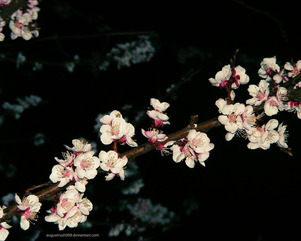 Download Wallpaper Night Cherry Blossom - night_blossom_wallpaper_by_augustrush008  Trends.jpg