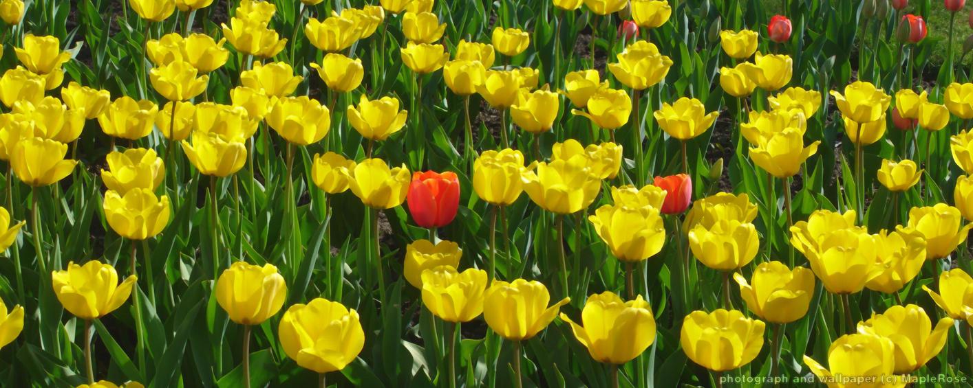 Field of Tulips by MapleRose