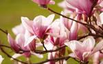 Iron Magnolia