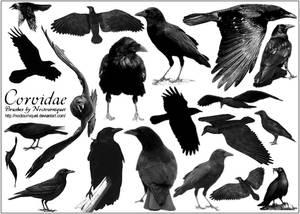 Corvidae... Ravens -N- Crows