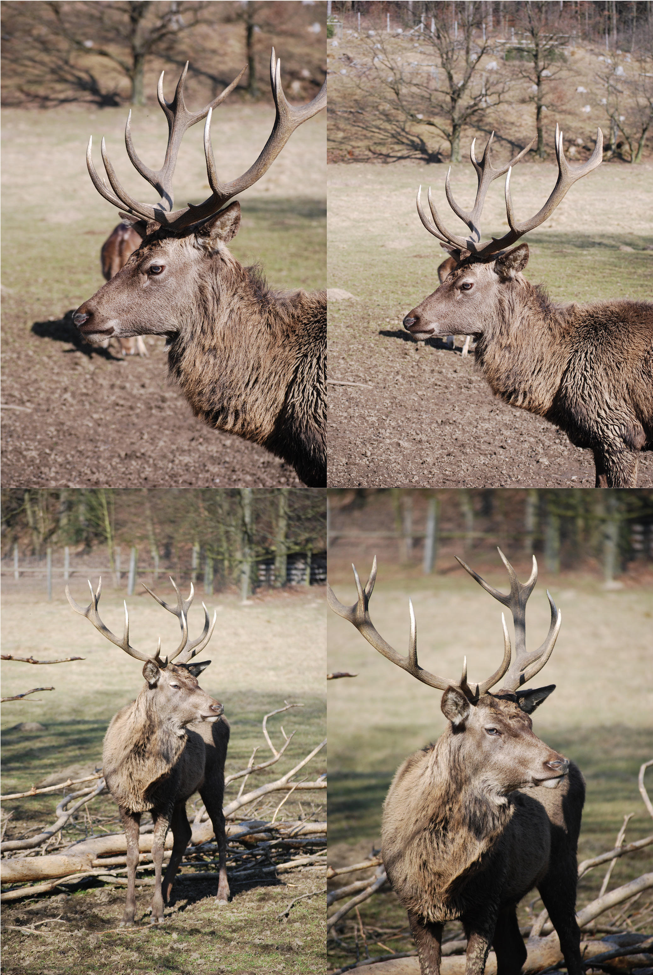 buck of rah