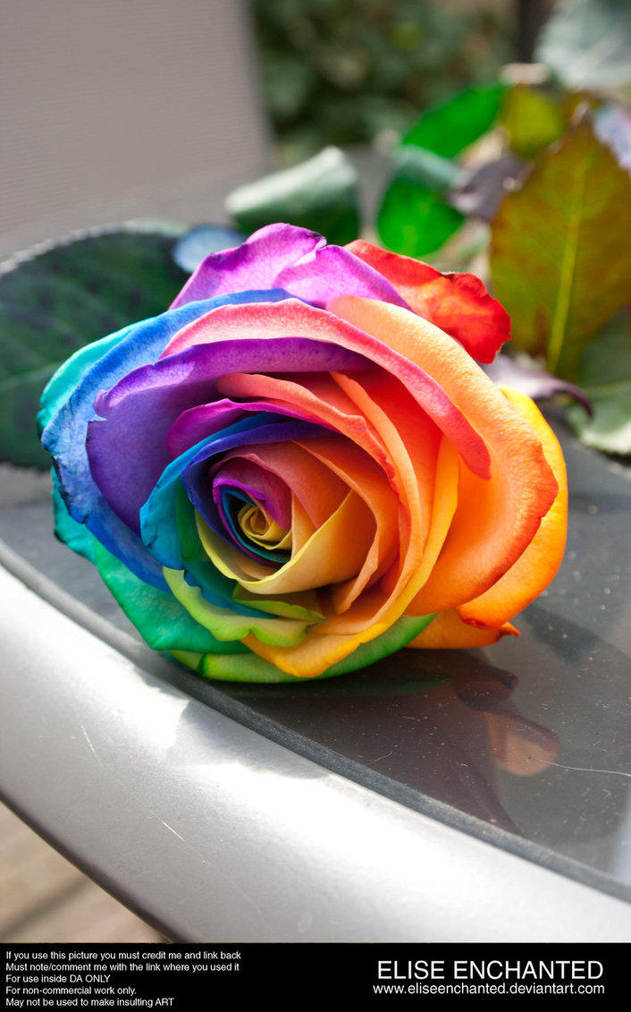 rainbow rose by ellipsis 0 on deviantart