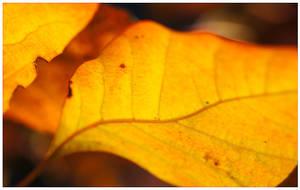 Autumn Orange by duckfarm