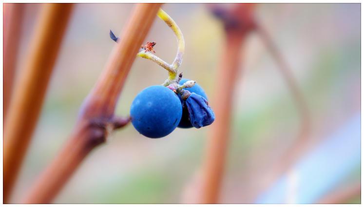 Grapevine by duckfarm