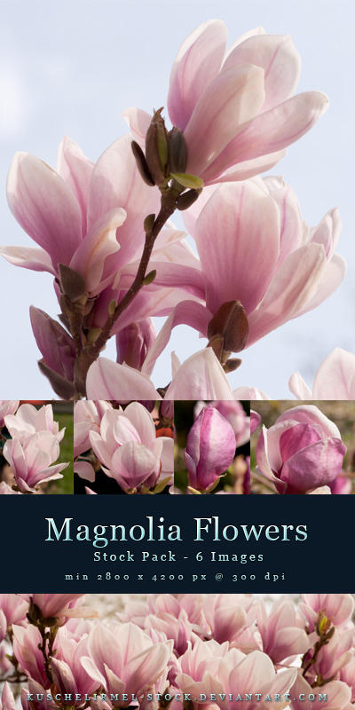Magnolia Flowers - Stock Pack by kuschelirmel-stock