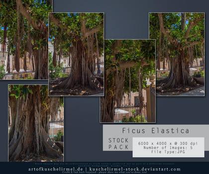 Ficus Elastica - Stock Pack