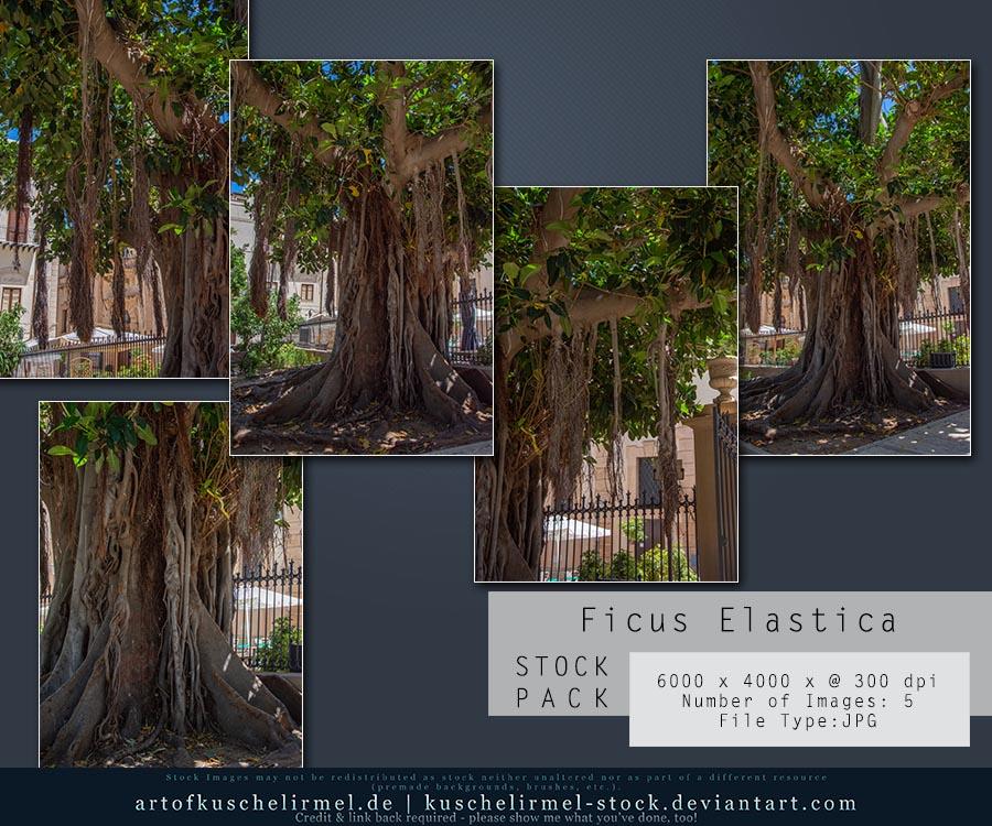 Ficus Elastica - Stock Pack by kuschelirmel-stock