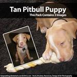 PitBull Puppy Stock Photo Set