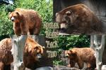 Kodiak Bear Pack - 2