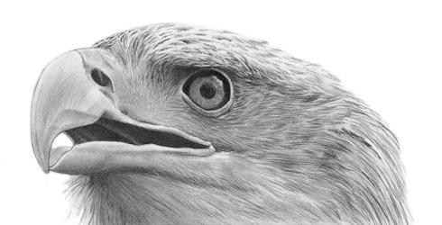Bald Eagle Tutorial