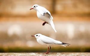 seagulls also play leapfrog