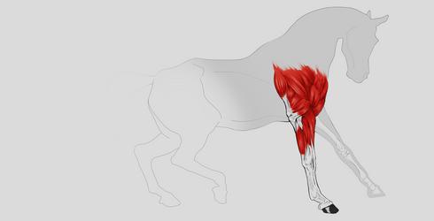 Horse Musculature Study by KennBaker