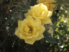 Yellow Roses by RockyRoxas13