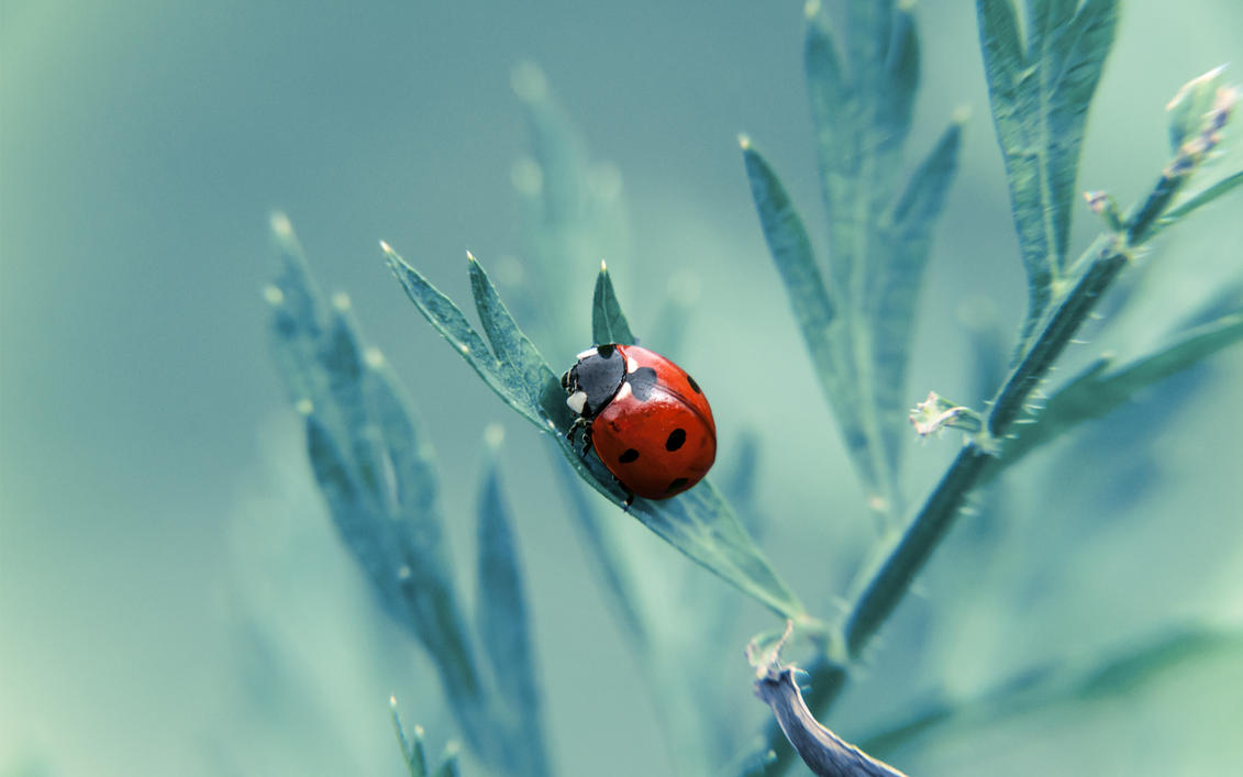 Ladybug Wallpaper By Tyc01101