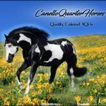 HEE Stable Avatar- Canelloquarterhorses