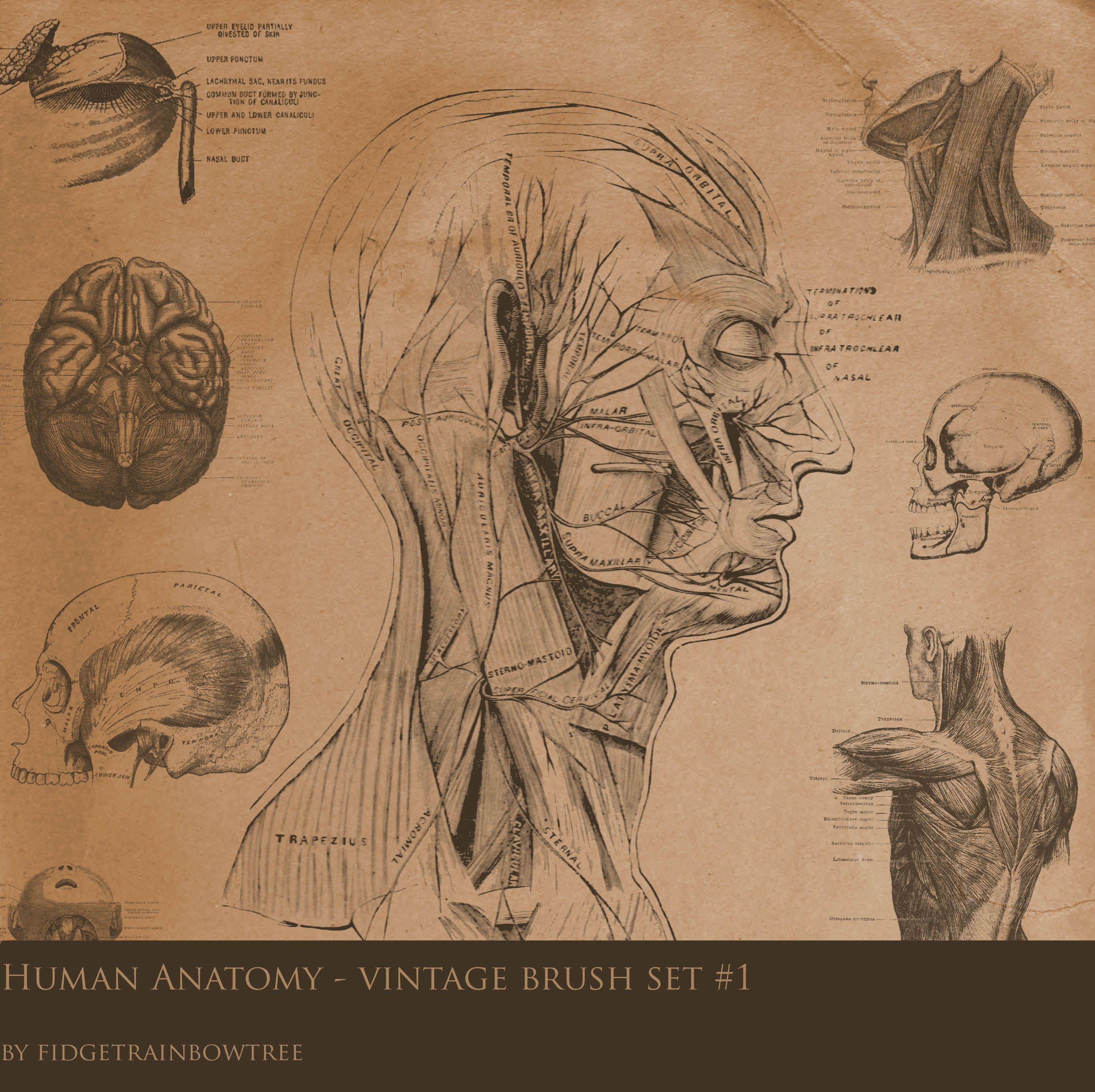 anatomisti Tavola anatomica di una testa 2 - by Fidgetrainbowtree Pubblicazione incerta © dell'autore, tutti i diritti riservati