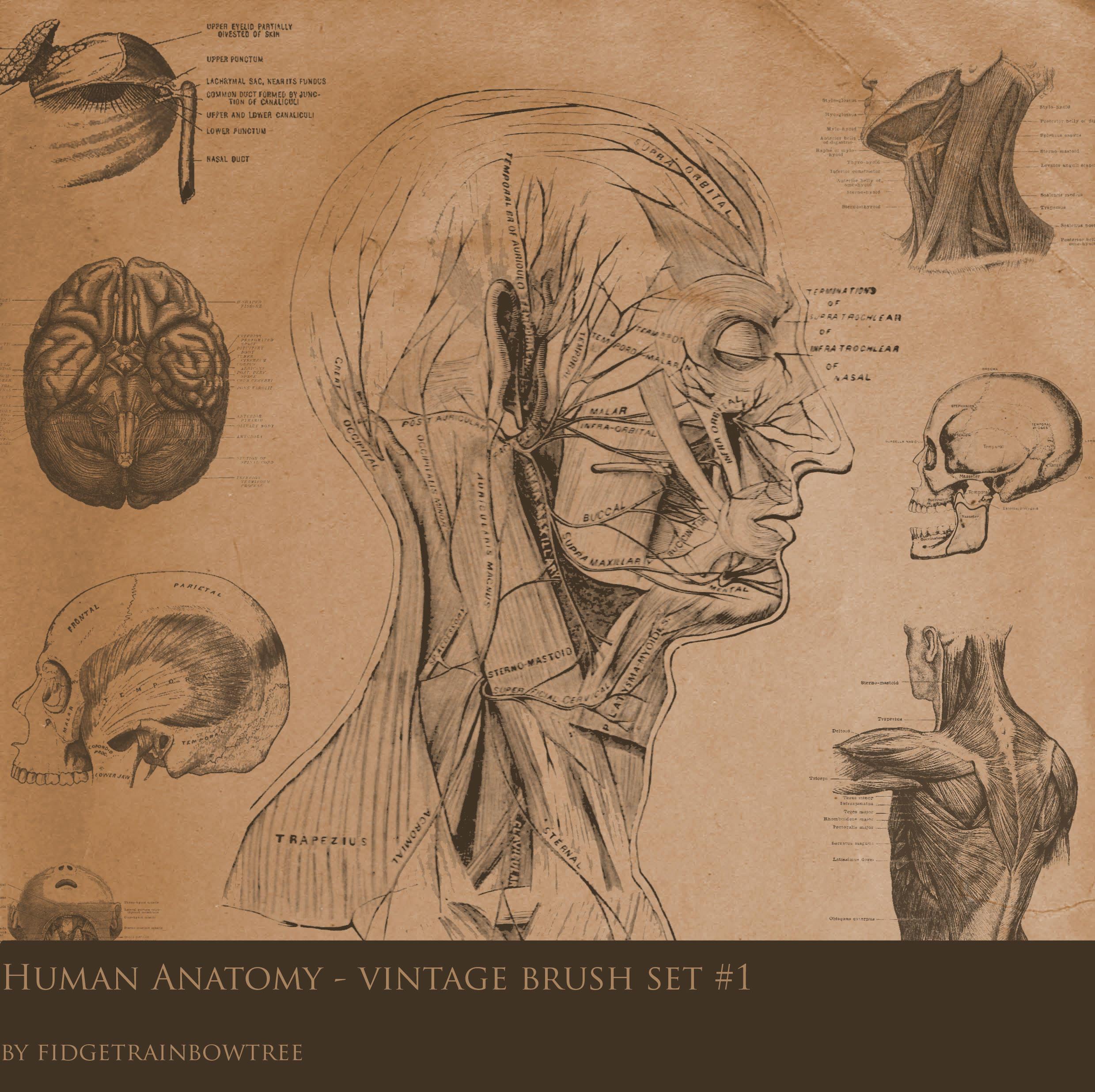 Vintage Anatomy Set 1 by FidgetResources