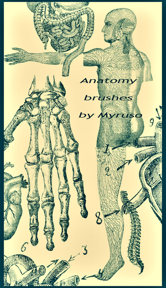 Anatomy brushes by Myruso