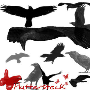 Crows 2 by flutterstock