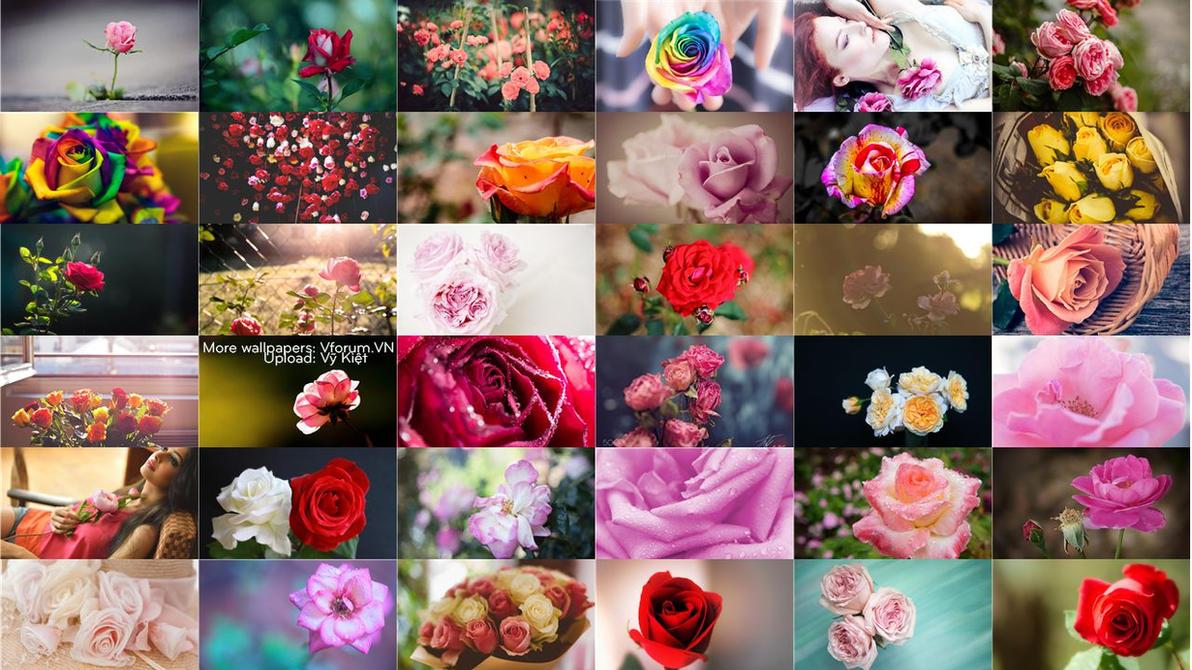 200 roses flowers full hd wallpapers packtelasm on deviantart