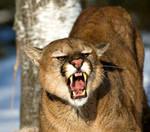 Cougar Hunt! (toko music)