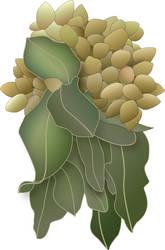 Pistachio cluster vector