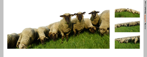 PACK sheep drove - STOCK
