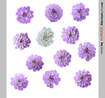 PACK candytuft - STOCK